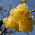 蝋梅の花祭壇