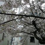 桜の木(2016年4月15日)